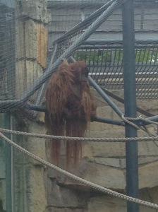 Orangutan at Zoo Berlin, Germany