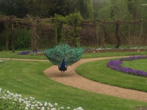 Peacock running in the garden labyrinth at Pfaueninsel, Peacock Island, Germany