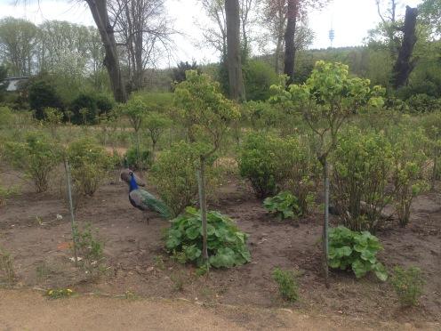 Peacocks in Lenne's Rose Garden, Pfaueninsel, Peacock Island, Germany