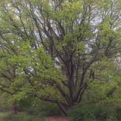 Beautiful Tree on Pfaueninsel, Peacock Island, Germany