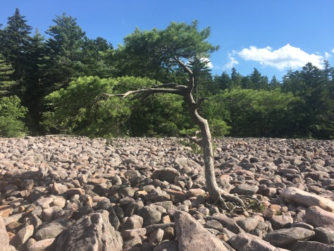 Lone tree growing in the boulder field with the forest behind at Hickory Run State Park, Pennsylvania