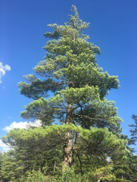 Tall Pine tree against blue skies at Hickory Run State Park, Pennsylvania