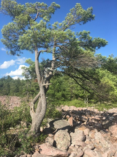 Lone tree growing out of the boulder field across from the forest edge, boulder field, Hickory Run State Park, Pennsylvania