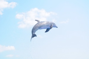 Bottlenose Dolphin jumping into the air, Marineland, Florida