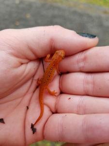Red newt juvenile in hand, Minnewaska Preserve, New York
