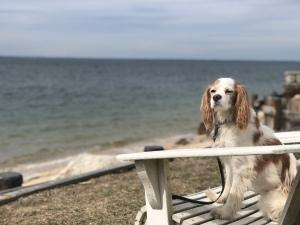 King Charles Cavalier sitting in chair at beach, Long Island