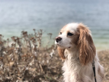 King Charles Cavalier at beach, Long Island