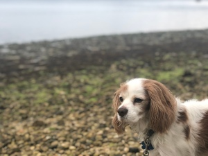 King Charles Cavalier at beach, Long Island