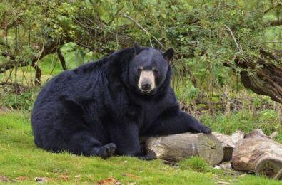 Black Bear photo by aljonushka on pixabay