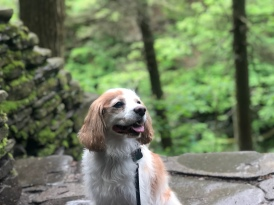Cavalier King Charles posing at Gorge Trail, Watkins Glen State Park, New York