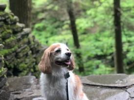 Cavalier King Charles posing at Gorge Trail, Watkins Glen State Park, New York