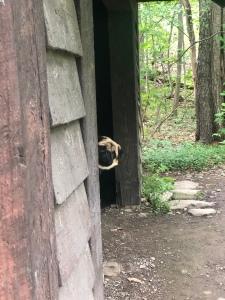 Pug playing peek A Boo at Watkins Glen State Park, Rim Trail, New York