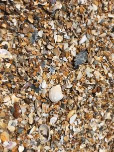 Seashells of Anastasia State Park, Florida