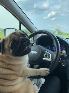 Pug Driving a Subaru