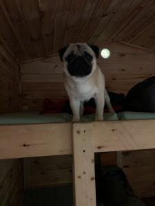 Pug On Binkbed in Rustioc Cabin, Wartkions Glen State Paek