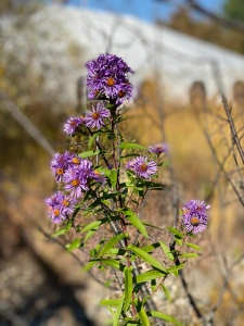 Purple wildflowers at The Wild Center