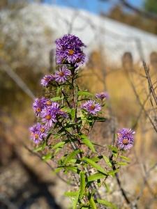 Purple wildflowers at The Wild Center
