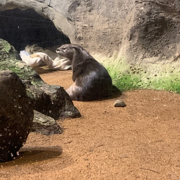 River otter in enclosure at The Wild Center, Tupper Lake, New York